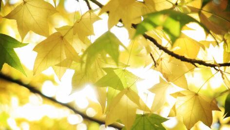 فوتیج ویدیویی برگهای پاییزی در مقابل نور خورشید